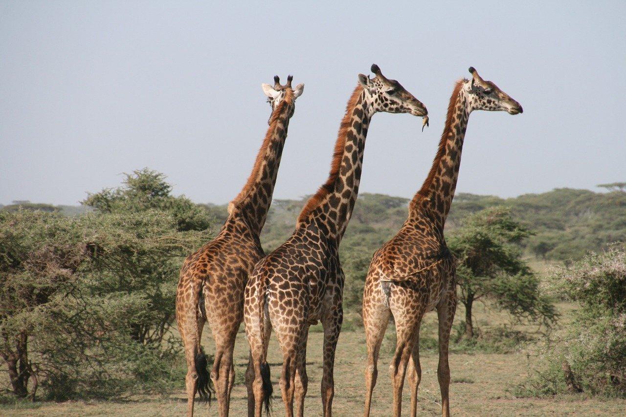 La Tanzanie, le pays des safaris